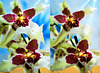 Orchids in X3D  ©UdoSm