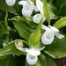 09 Königlicher Frauenschuh C.reginae Weiß