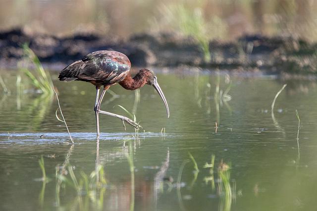 Ibis falcinelle dans une rizière de Camargue