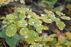 Thalictrum delavayi, Canada