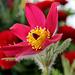 Rote Küchenschelle- Kuhschelle - Pulsatilla vulgaris