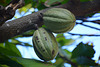 Dominican Republic, Cocoa Fetuses