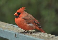 gdn cardinal oct 2021 DSC 4112