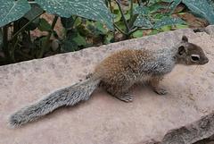 Zion Nat Park- Spotted ground squirrel