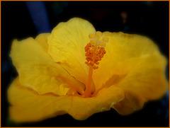 Hibiscus ................Belle semaine à tous !