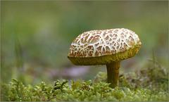 Sombere fluweelboleet (Xerocomus porosporus)...