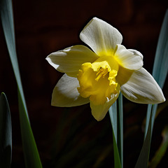 First Daffodil of 2016
