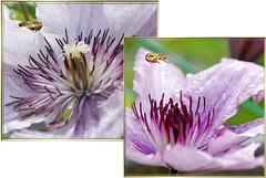Schwebfliegen im Anflug an Clematisblüten. ©UdoSm