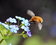 Dark Edged Bee Fly