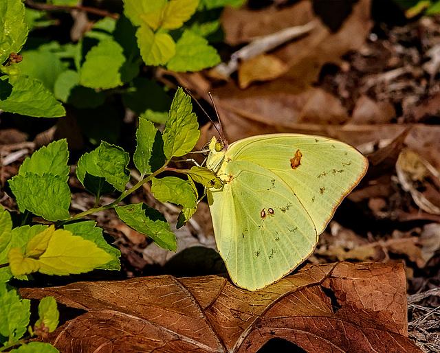 9049397dL Butterfly