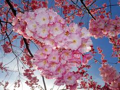 BELFORT: Fleurs de cerisiers 05