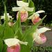 15 Cypripedium reginae