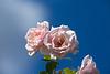 Rose 50 + 6 : Quando quando quando