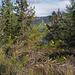 Sisymbrium irio, Canada L1010335