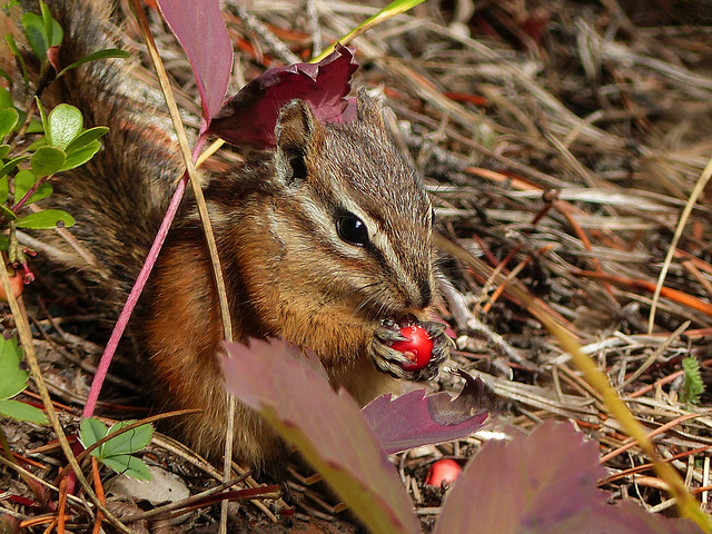 Chipmunk with a yummy snack