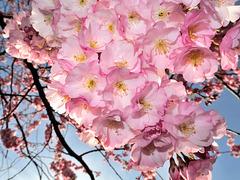 BELFORT: Fleurs de cerisiers 06