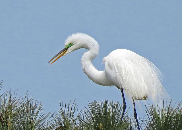 Great Egret in Breeding Plumage