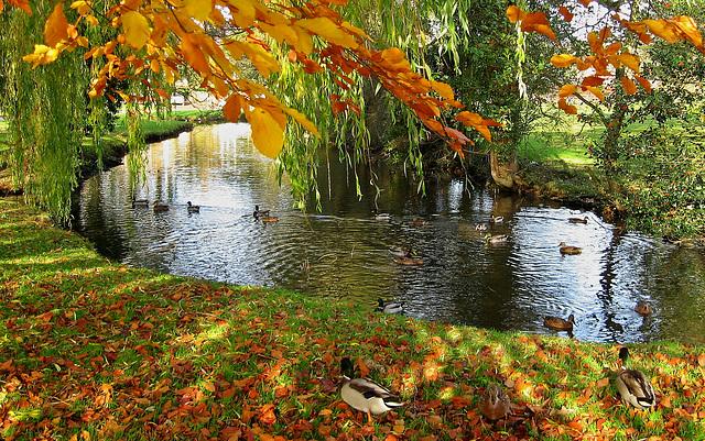 Mallards in Autumn, North Yorkshire