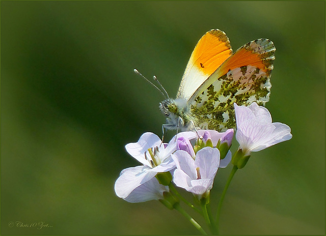 Orange tip ~ Oranjetipje (Anthocharis cardamines) ♂...