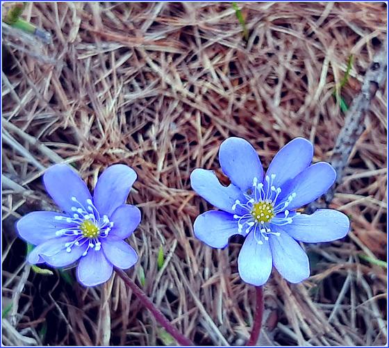 SAUZE D'OULX : un primo fiore annuncia la primavera