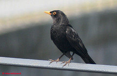 Blackbird (Turdus merula) Male Happy on the fence watching the town traffic 06