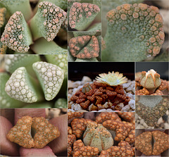 Titanopsis (calcarea, hugo-schlechteri, schwantesii