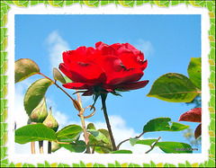 A Red, Red Rose.