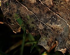 Skellibobbin Leaf 3