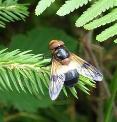 Fliege zwischen Farn und Fichte