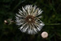 BESANCON: Une fleur de Pissenlit (ou Dent-de-lion) (Pappus). 05