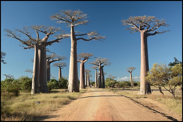 Allée des Baobabs