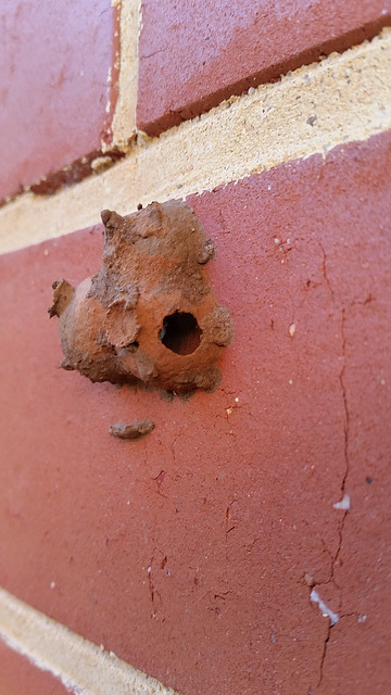 One mud dauber wasp hatched