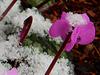 Cyclamen im Schnee