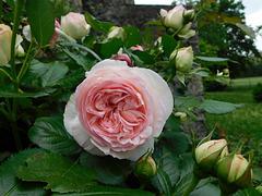 Mes roses de l'été...