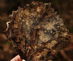 Skellibobbin Leaf 5