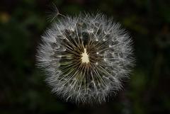 BESANCON: Une fleur de Pissenlit (ou Dent-de-lion) (Pappus). 06