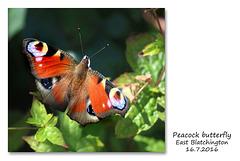Peacock - East Blatchington - 16.7.2016