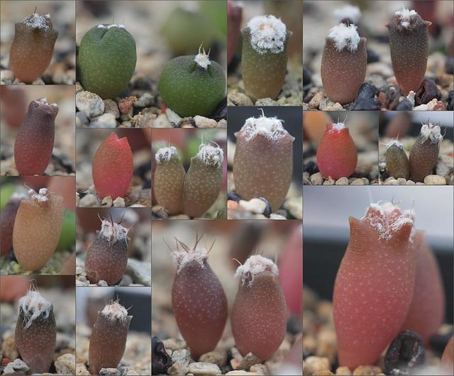 Astrophytum Sämlinge 2017