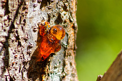 Ameixieira / Plum Tree
