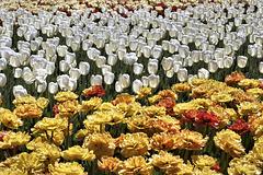 Floral Regression, Take #1 – Canadian Tulip Festival, Dow's Lake, Ottawa, Ontario, Canada
