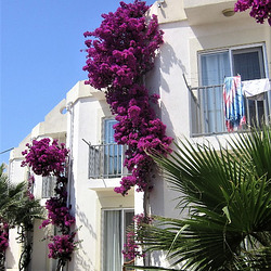 The bouganvillea looks so striking against the white walls