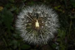 BESANCON: Une fleur de Pissenlit (ou Dent-de-lion) (Pappus). 07
