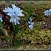 Puschkinia libanotica = Puschkinia scillioides