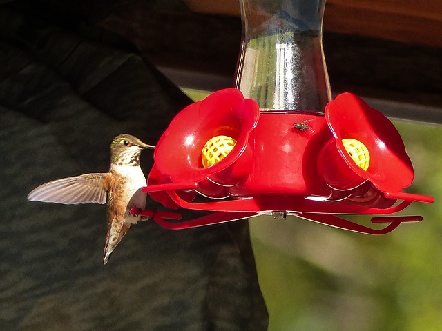 Tiny Hummingbird at Highwood House