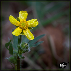 283/366: Lovely Little Buttercup