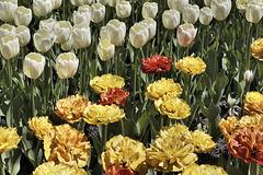 Floral Regression, Take #2 – Canadian Tulip Festival, Dow's Lake, Ottawa, Ontario, Canada
