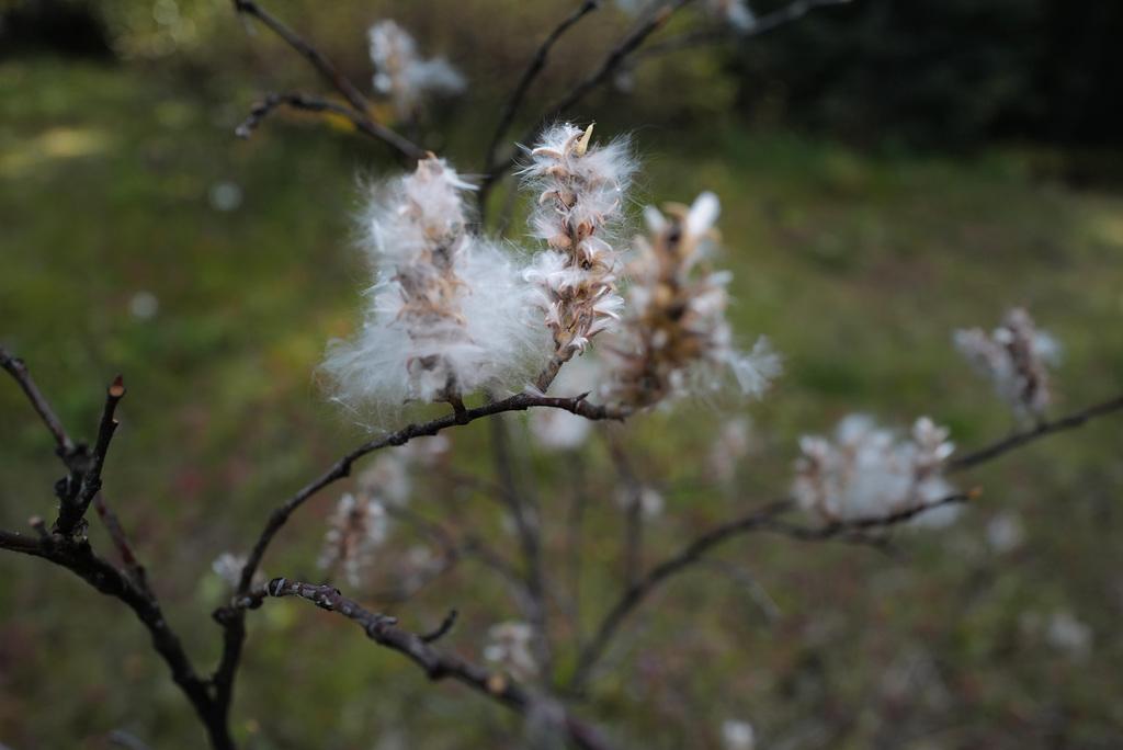 Salix caprea, Canada