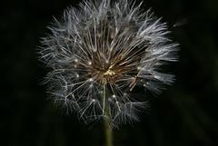 BESANCON: Une fleur de Pissenlit (ou Dent-de-lion) (Pappus). 08
