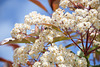 Fleurs blanches**********