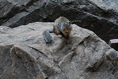 Zion Nat Park, Rock squirrel